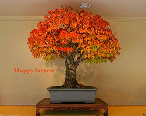 JAPANESE ELM - 30 Samen - Zelkova serrata - amerikanischer Bonsai Schnell Baum wachsen