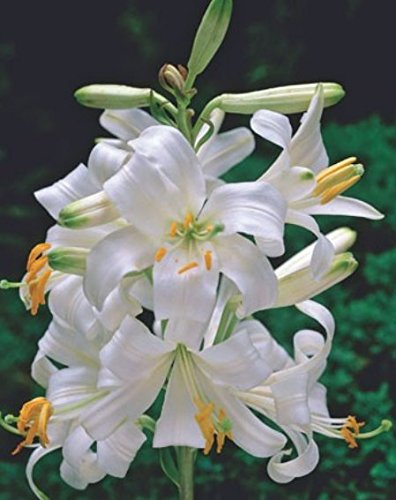 Madonnenlilie Lilium candidum Lilienzwiebeln (3 Blumenzwiebeln)