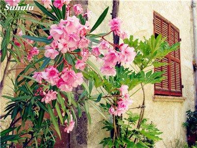 150 Pcs Nerium Graines Oleander plantes en pot semencier japonais Jardin Décoration Bloom Graine Facile à cultiver purifient l'air 14