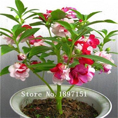 Grande vente de graines de fleurs Camellia impatiens Seed, package d'origine 100pcs taux de survie élevé Garden Bonsai impatiens graines