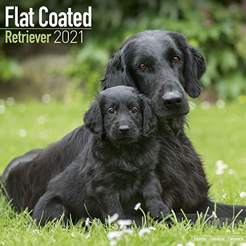 Flat-Coated Retrievers 2021 - 16-Monatskalender: Original Avonside-Kalender [Mehrsprachig] [Kalender] (Wall-Kalender)