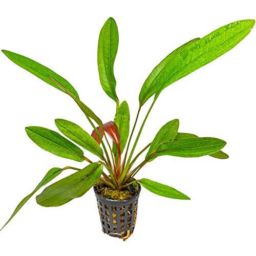 Rubinrote Schwertpflanze / Echinodorus rubin - Aquarium-Pflanze