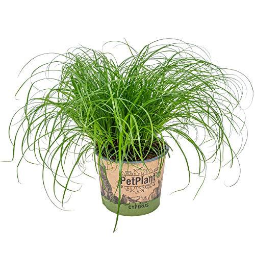 Katzengras - Cyperus alternifolius 'Zumula' - Zimmerpflanze im Aufzuchttopf ⌀12 cm -↕20-25 cm