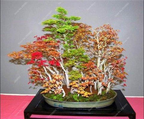20pcs / bag raras semillas de arce mezcladas plantas perennes al aire libre Bonsai en maceta follaje de los árboles de jardín Tiesto plantadores 2