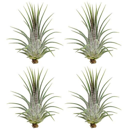 Tillandsia ionantha | grün | Luftpflanze | Zimmerpflanze | Urban Jungel | Zimmerpflanzen indoor | Tillandsien Pflanzen echt | Größe 7 cm (4)