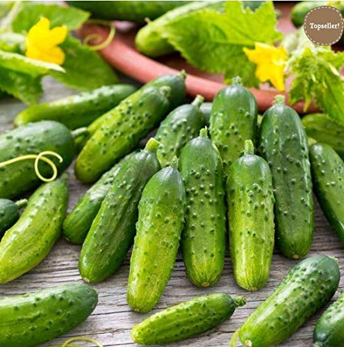 Keptei Samenhaus - Bio Salatgurke Samen Mini-Gurke Snackgurke Gemüse Samen ertragreich mehrjährig winterhart für Garten Balkon/Terrasse