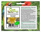 Pezzi - 1x Clivia Vico Giallo Variegated Gideon Botha Pianta - Seme B982 - Seeds Plants Shop Samenbank Pfullingen Patrik Ipsa