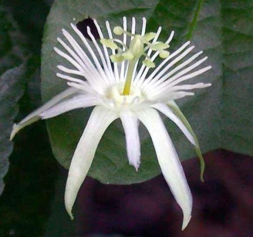 Passiflora capsularis pur 10 graines blanches