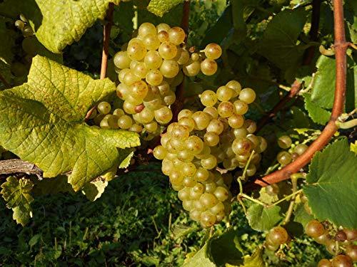 北海道ワイン『おたるミュラー・トゥルガウ完熟フリーラン』