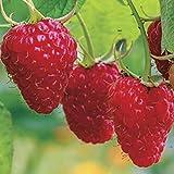 ypypiaol 300 Unids Deliciosas Semillas De Frutas De Bush De Frambuesa Roja Dulce Jardín Jugoso Planta De Patio Al Aire Libre Semillas de frambuesa roja