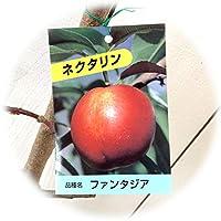 ネクタリン 苗木 ファンタジア 12cmポット苗 ネクタリン 苗
