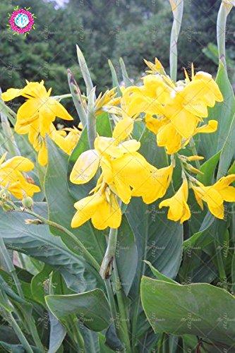 10 pcs couleurs mélangées Canna Lily Graines Belle Bonsai Graines de fleurs Feuillage Magnifique vivace Plante en pot pour jardin 3
