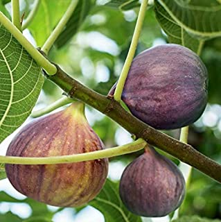 7 Fresh and Premium cuttings Brown Turkey Fig Ficus Carica Trees for Propagation Cold Hardy