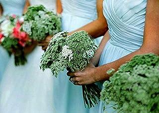 Green Mist, Queen Anne`s Lace, Ammi visnaga, Egyptian Wildflower, Florist Favorite, Cut Flower, Cottage Garden Annual, Dream Wedding Bouquet
