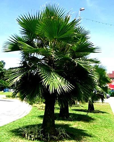 PLAT FIRM KEIM SEEDS: 10 Samen Brahea Edulis Areca Bäume von Mexiko Guadalupe Palm Fächerpalme frisch 2 C88