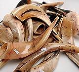 autentico shofar lucidato, di alta qualità. (size 30cm-35cm)