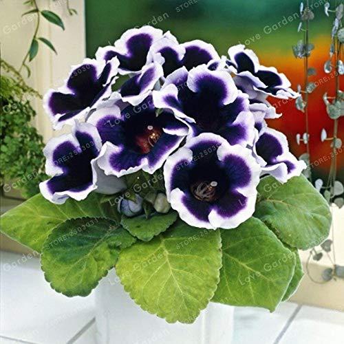 Generic Fresh 100 Stk. Sinningia Blumensamen zum Pflanzen von Blau