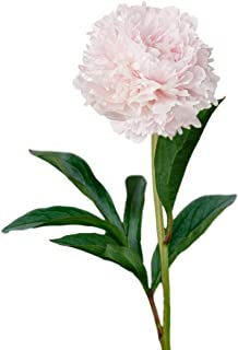 Peony Shirley Temple - 1 Healthy 3/5 Eye Peony Root Plant - Fragrant! | Ships from Easy to Grow TM