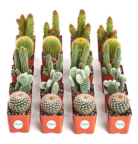 Shop Succulents | Can't Touch This Collection | Assortment of Hand Selected, Fully Rooted Live Indoor Cacti Plants, 20-Pack