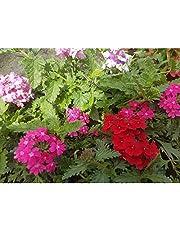 Verbena Colgar Planta Natural Pequeña con Flor de Temporada Colores Surtidos