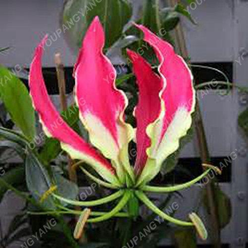 Promotion! 200pcs parfum Lily Graines de fleurs Germination 95% Creepers Bonsai Bricolage Fournitures Jardin Pots Planters Livraison gratuite orange