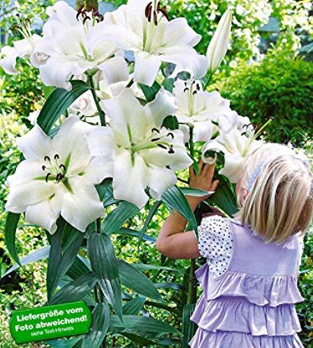 TOMASASeedhouse- 50 unidades Jardín-Lirio Gigante Semillas de flores Semillas perennes Lirios de árboles Lilium Lirios híbridos Cebollas Hardy-fragantes