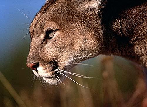 Dibujo de bordado de pintura de diamante 5D DIY - Cougar Big Cat Animal Needlework Regalo Full Diamond Mosaico punto de cruz Decoración del hogar 16 x 20 pulgadas