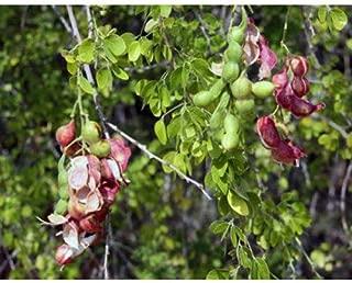 50 Manila Tamarind Tree Seeds, Pithecellobium Dulce