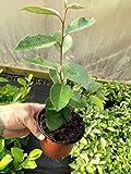 Martin's Nursery 10 Elaeagnus ebbingei apx 15-20cm Tall - Evergreen Hedging - Very Hardy