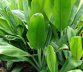 Best ti leaf plant Reviews
