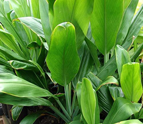HAWAIIAN GREEN TI LEAF PLANT 2 LOGS ~ GROW HAWAII