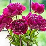 Raíces de peonías: las flores famosas del mundo, florecen en primavera, hermosos colores, adornan las plantas de la familia.