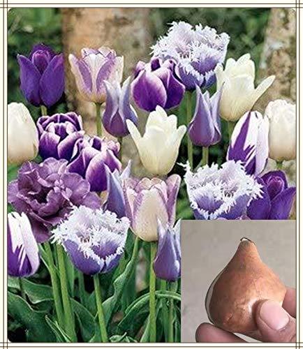 Tulpenzwiebeln,Wurzelblumen Garten Seltene Arten Beetpflanzen Besonders SchöN-10 zwiebeln
