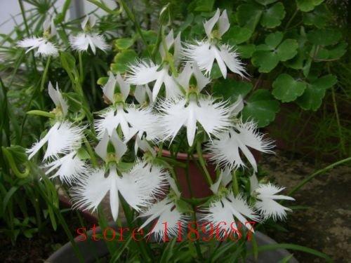 Graines 100pcs / Graines sac japonais Radiata White Egret Orchid Rare Orchid Espèces Fleurs Blanches Orchidee monde Garden & Home