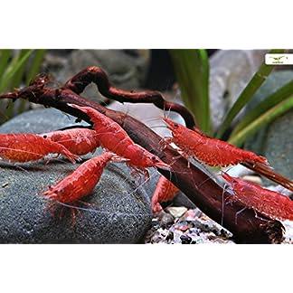 Red Fire Cherry Garnele Neocaridina davidi