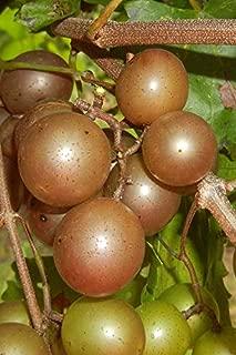 Pixies Gardens Muscadine Grape Vine Plant (1 Gallon Bare-Root Set of Two Plants, Carlos Muscadine)