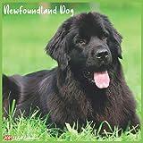 Newfoundland Dog 2021 Wall Calendar: Official Newfoundland Dog Calendar 2021, 18 Months