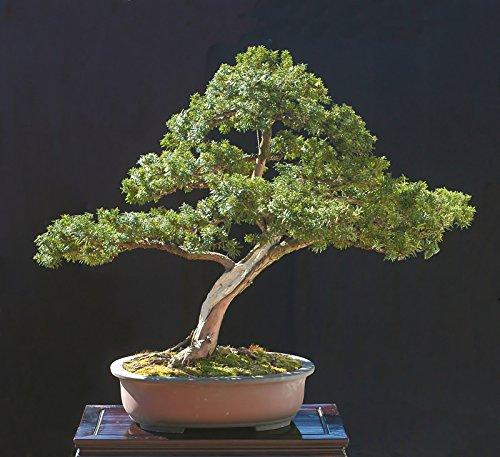Japanische Eibe, Taxus cuspidata capitata, 30 Baumsamen (Evergreen, Topiary)