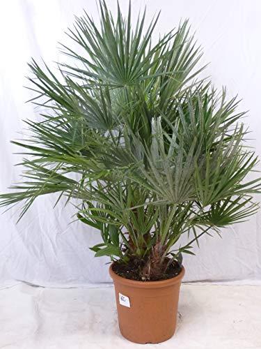 [Palmenlager] - XXL Chamaerops humilis 120/140 cm - Stamm 20-30 cm // winterharte Palme -12°C