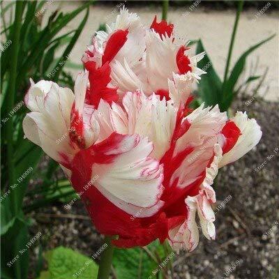 5: 1pcs veri tulipani tulipani, non semi di tulipano, pappagallo arcobaleno tulipano fiori bulbi bonsai piante rizoma giardino bulboso-radice Jardinagem