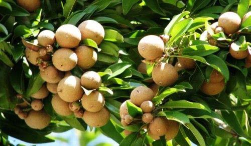 zumari 20 semillas de fruto de níspero