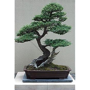 Amazon Com Western Hemlock 50 Seeds Tsuga Shrub Tree Bonsai Garden Outdoor