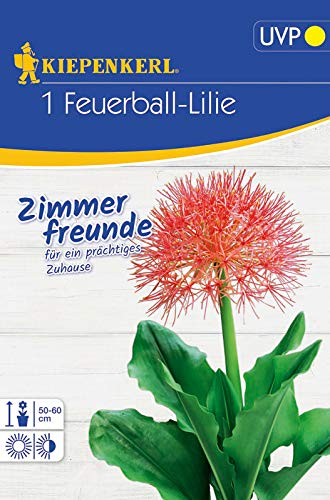 Feuerball-Lilie (Blutblume) Scadoxus multiflorus, Strahlenförmiger Blütenball in rot-orange, exotische Zimmerpflanze