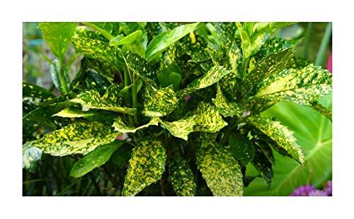 Stk - 1x Aucuba Japonica Variegata Japanische Aukube Staude Garten - Pflanze K-P473 - Seeds Plants Shop Samenbank Pfullingen Patrik Ipsa