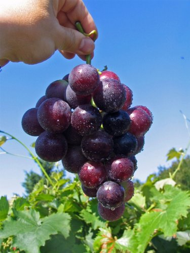 Vitis vinifera Kyoho - dunkelrote Pflaumentraube Weinrebe Tafeltraube - gute Pilztoleranz