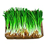 Park Seed Parade Green Onion Seeds, Heavy-Yield and Crisp, Pack of 1000 Seeds