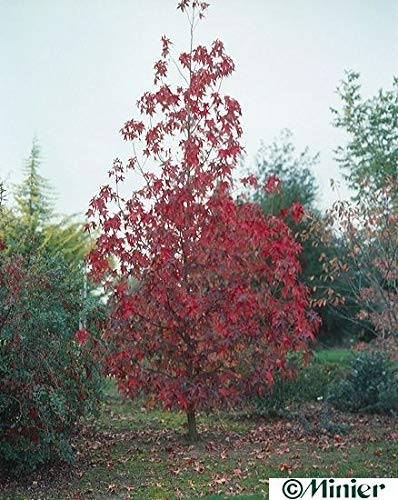 Liquidambar styraciflua Thea - Amerikanischer Amberbaum Thea - Seesternbaum - American Sweetgum Baum - Kaugummibaum
