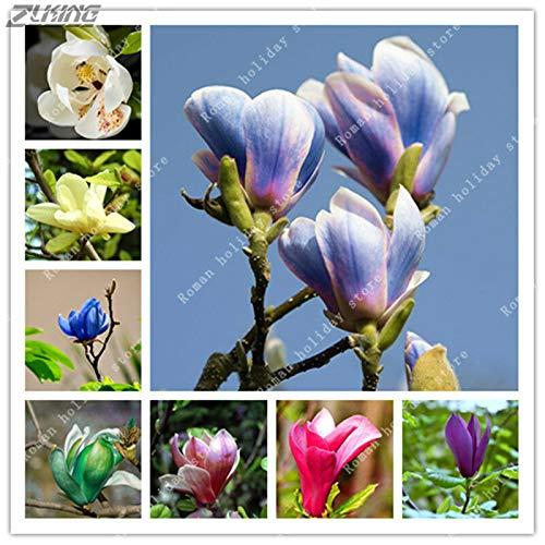 GETSO 10pcs Multicolor Magnolia Samen Seltene Bunte Duftende Yulan Samen Bonsai Leben