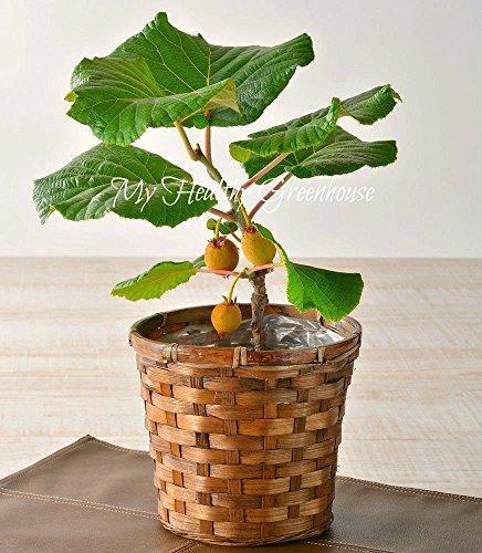 Mini Fruit 100 pcs bonsaïs délicieux petits arbres fruitiers Graine de jardin Maison Plante Plantg28 Intéressant
