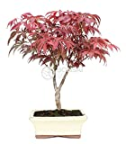 Bonsai - Arce, 7 Años (Bonsai Sei - Acer Palmatum Atropurpureum)